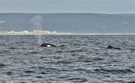 Killer Whales Spotted In Gansbaai