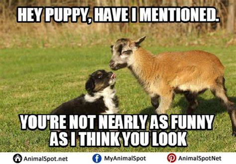 Billy Goat Meme - billy goat meme goat memes
