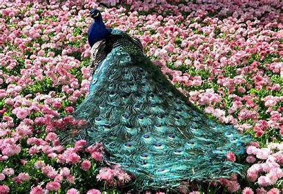 Peacock Wallpaperspic