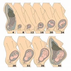 11 Weeks Pregnant  Pregnancy Week-by-week