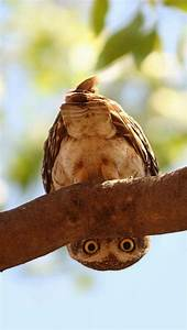 owl looks from tree branch luvbat