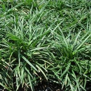 Mondo Grass – Dwarf (Ophiopogon japonicus) | Naples Florida