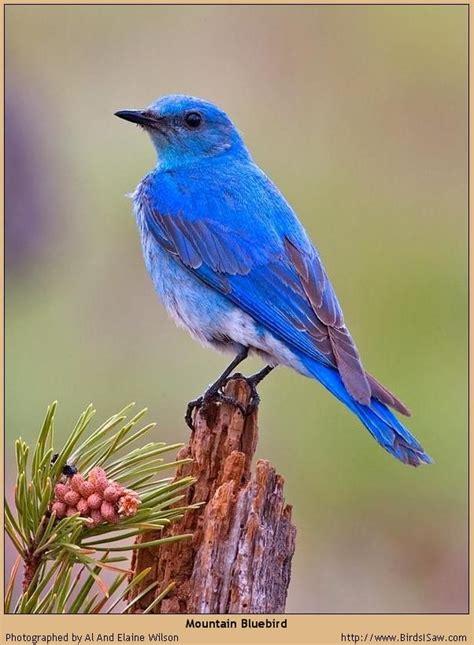 nevada mountain bluebird a taste of u s a pinterest