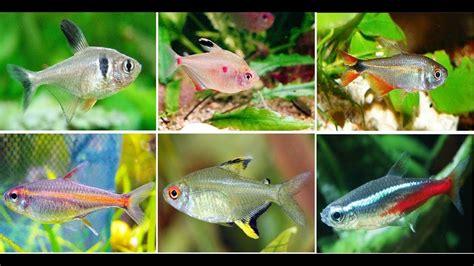 popular tetra fish  aquarium youtube