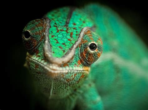 chameleon pet owning pet veiled chameleons in our homes from mother nature mother s earth greenhouse