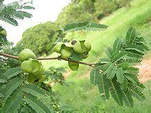 libidibia coriaria wikipedia