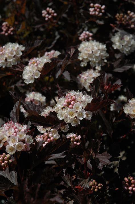 tiny wine ninebark physocarpus opulifolius smpotw