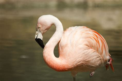 what color is a flamingo what flamingos eat you ll be amazed to find out