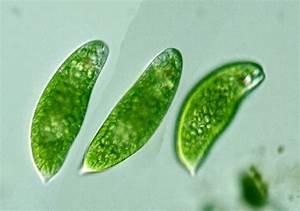 Protist Images  Euglena
