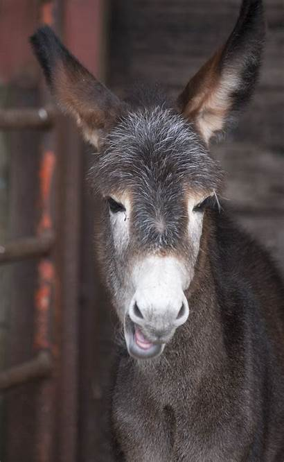 Donkey Funny Face Domain Publicdomainpictures