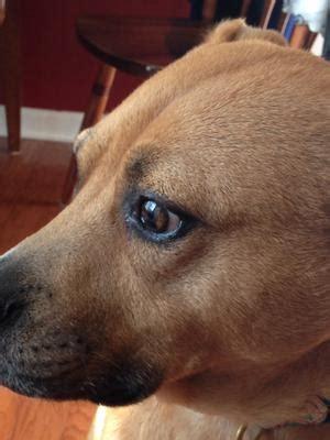black spot  dogs iris eye bulging