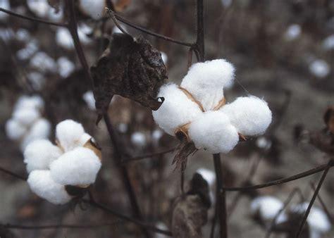 cotton planters cotton
