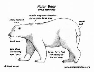 Informational Reading And Writing- Class Topic  Polar Bears