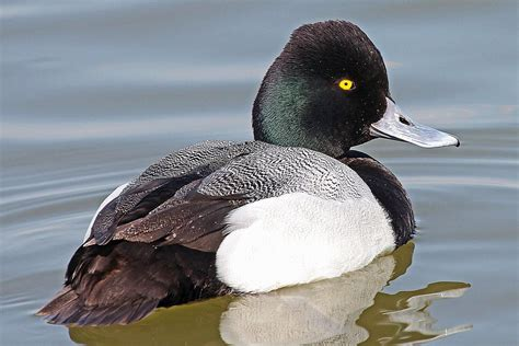 lesser  greater scaup identification tips