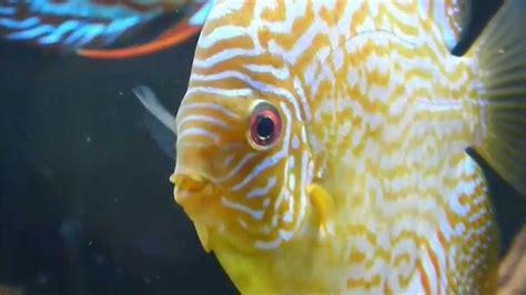 discus fish secrets discus fish care  breeding youtube