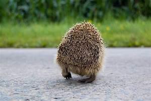 Le Hérisson Chauffagiste : h risson le site des animaux ~ Premium-room.com Idées de Décoration