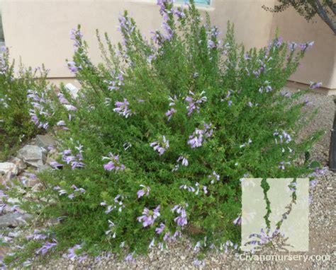 Plant Nursery Catalogs Free by Civano Nursery Gt Catalog Gt Plant Gt Mexican Oregano