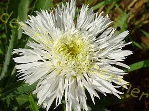 Winterharte Stauden Dauerblüher : gef llte margerite chrysanthemum winterhart 30 samen kaufen ~ Whattoseeinmadrid.com Haus und Dekorationen