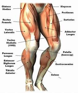 Diagram  Upper Arm Muscle Diagram Human