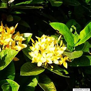 Yellow Ixora Flower