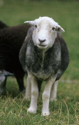 herdwick sheep  yew tree farm coniston lake district