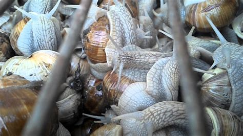 comment cuisiner les escargots reportage sur les escargots 15 minutes