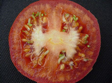 how to seed a tomato tomato seeds jumping the gun the p pdl picture of the week plant pest diagnostic