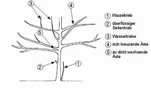 Wann Müssen Apfelbäume Geschnitten Werden : haus und gartenpflege neuhauser baumschnitt ~ Lizthompson.info Haus und Dekorationen