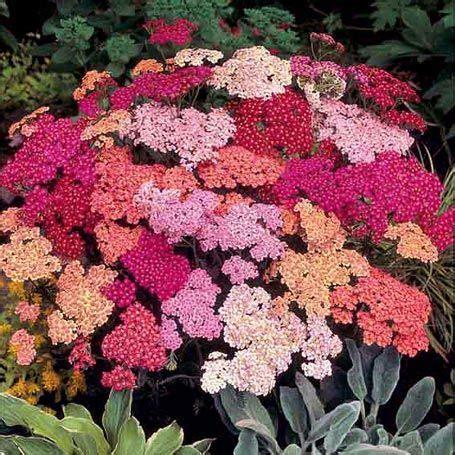 Lange Blühende Pflanzen by Schafgarbe Summer Berries Stauden Gartengestaltung