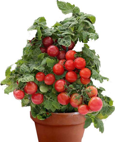 coltivare  pomodori  vaso gardenus