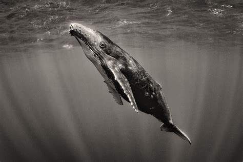 Black And White Humpback Whale  Wwwpixsharkcom Images