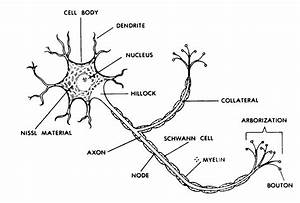 Nerve  Nerve Cell Diagram