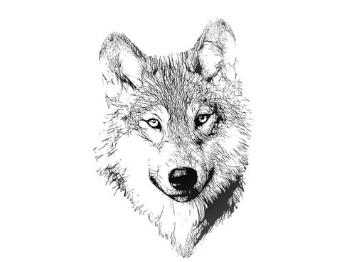 wolf portrait illustration drawing  stock photo
