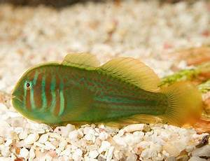 Blue Neon Goby Tank Raised