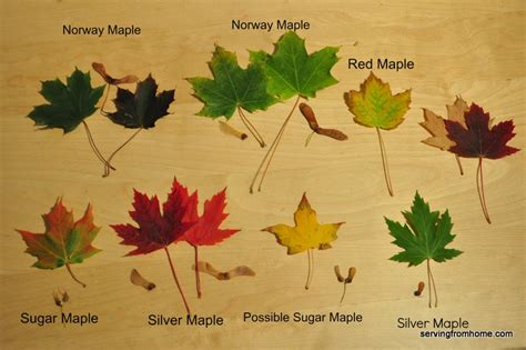 different maple tree leaves f is for fall autumn tree study and tactile tuesday serving from home