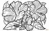 Hibiscus Coloring Printable Flower Supercoloring Patio Sheets sketch template