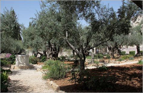 Garten Gethsemane  Uralte Knorrige Ölberg Im Doch