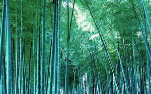 HD Wallpapers: Bamboo Tree Wallpapers hd