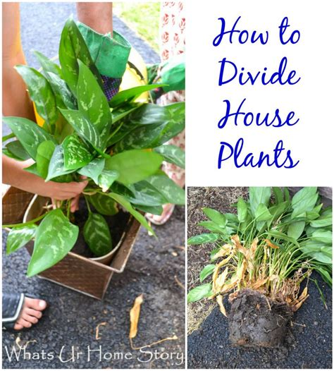how to divide house plants plants house plants