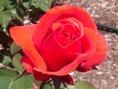 Online Plant Guide  Rosa 'fragrant Cloud' Fragrant