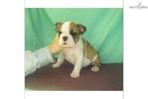 meet major  cute english bulldog puppy  sale