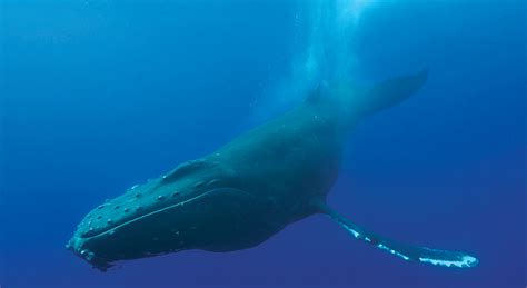 whales humpback whale sightings