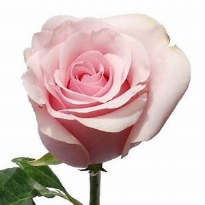 "Titanic Light Pink Rose 20"" Long - 100 Stems"