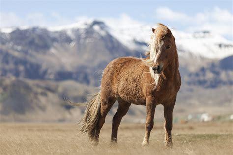 icelandic horse horses iceland meet gaits origin facts history tolt equine