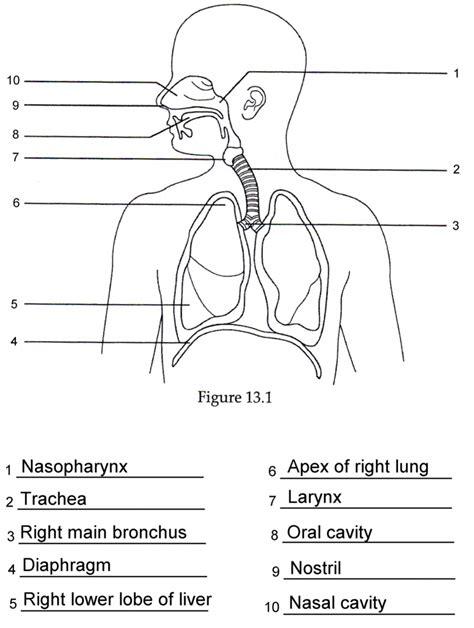 Human Anatomy Labeling Worksheets Respiratory Anatomy Labeling Quiz Grut32bit   Anatomy And