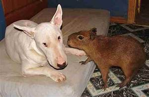 Capybara Is Friends With All Animals At Arkansas Sanctuary ...