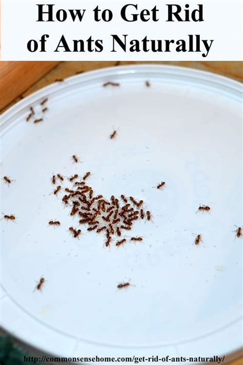 getting rid of ants 259 best images about for the home on pinterest vinegar for cleaning common sense and homesteads