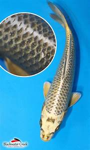 Yellow/Black Koi : Black Water Koi Farms!, The Best Koi In ...