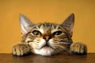 cat purring what makes a cat purr purrfect cat breeds