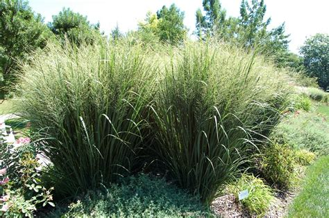 grass garden plants learn how to care for fountain grass plants